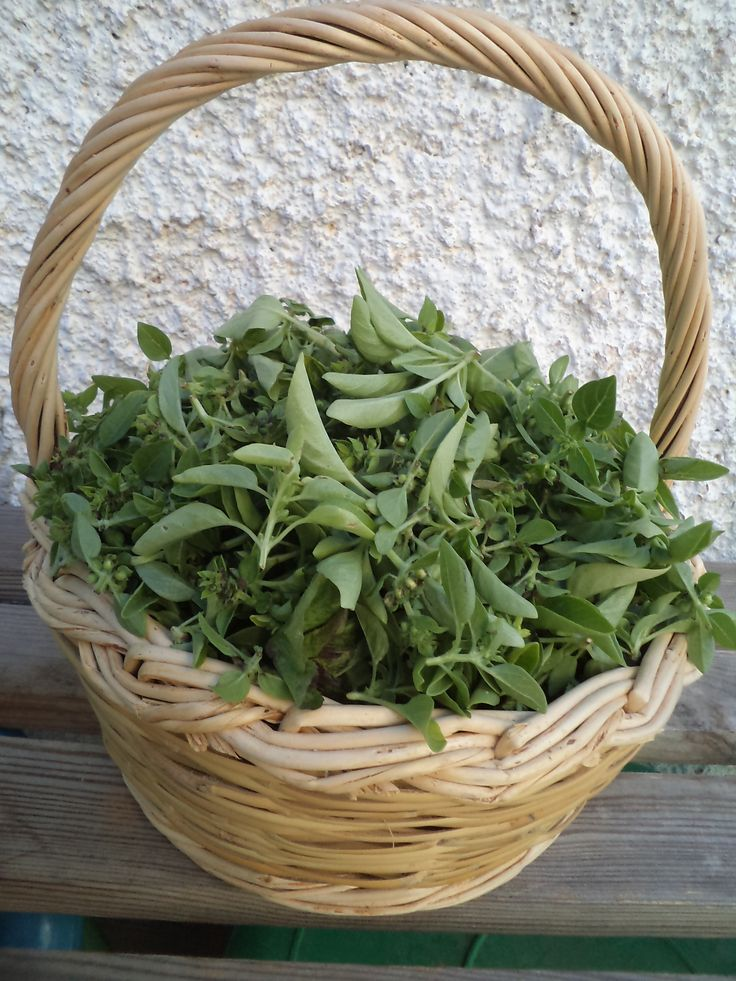 Basil ready to dry, for my winter cooking. __©Peggy Carajopoulou-Vavali