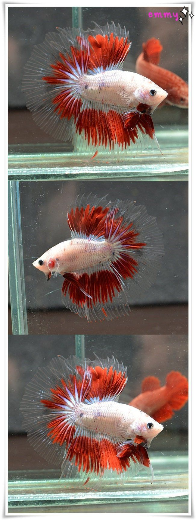 85 best Beautiful Bettas images on Pinterest | Nature, Beautiful and ...