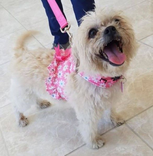 Willow Maltese Poodle Dog For Adoption In Grand Prairie Texas