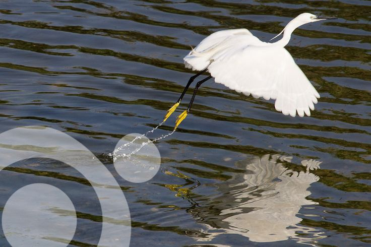 #birding_in_spain : Common egret. All the information to plan your trip to #Bahia_de_Cadiz in www.qnatur.com