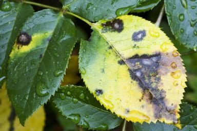 Dealing with Rose Diseases                                                                                                                                                                                 More