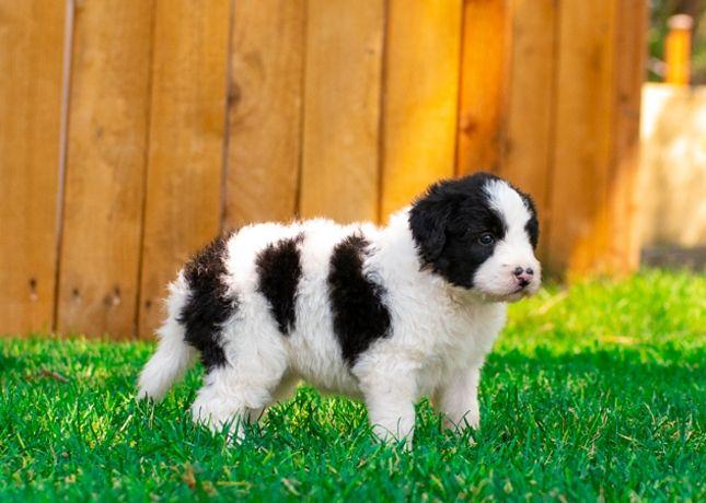 Adorable Bordoodle Puppy 4 Weeks Old Mountainrosebordoodles