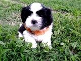 Maltese dog for sale COOPER is a Male Maltese dog ready for a forever home