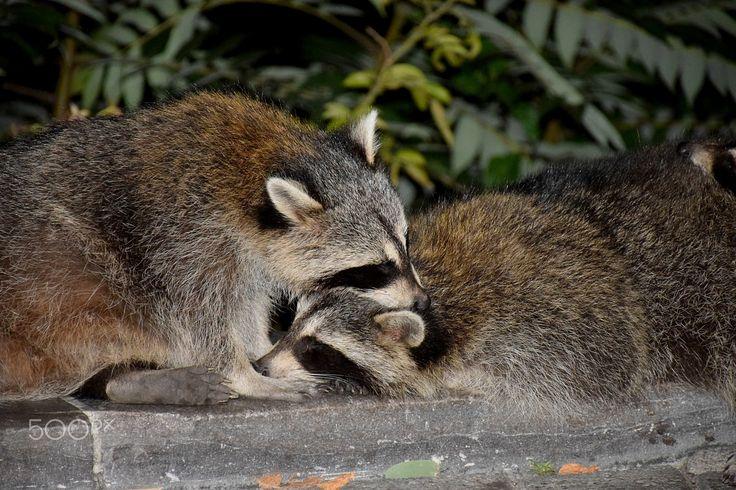 Raccoons in love - Two urban raccoons hugging.