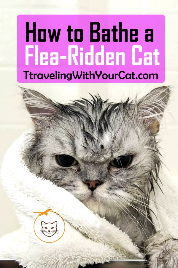 How To Bathe A Flea Ridden Cat Cat Fleas Cats Flea Bath For Cats