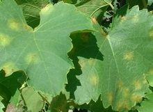 Mildiou : lutte et traitement bio  Bien connu comme étant l'ennemi n°1 de la vigne, le mildiou est en effet une menace constante pour la r...