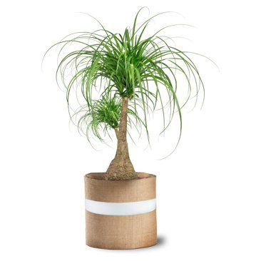 "Check out this item at One Kings Lane! 36"" Ponytail Palm Tree, Live"
