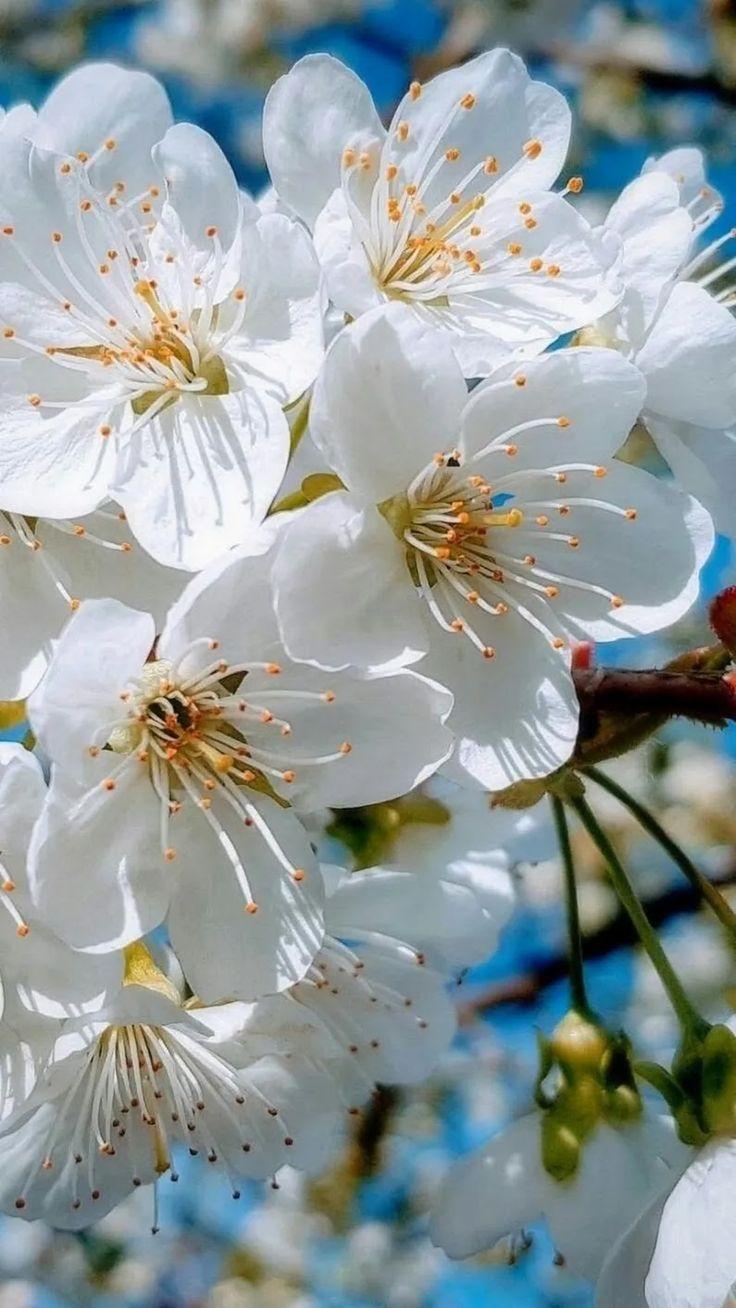 Prunus Tai Haku Japanese Flowering Cherry Tai Haku Cherry Tai Haku Cherry Taihaku Flowering Cherry Tree Ornamental Cherry Japanese Flowering Cherry