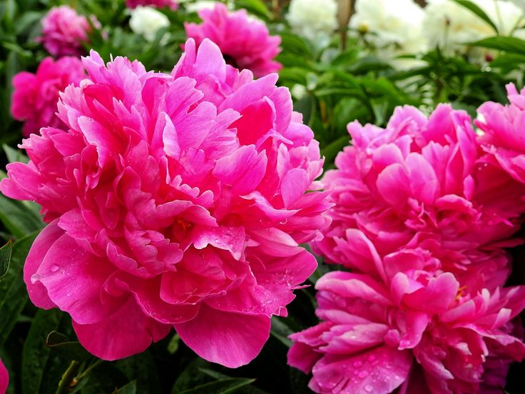Image result for Happy Pentecost with peonies