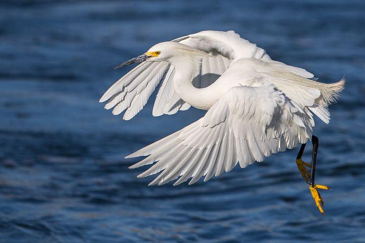 https://flic.kr/p/E6HhBp | Snowy Egret | Snowy Egret