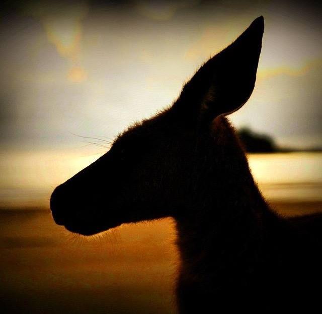 We love this amazing picture by: @cherrieflea on IG. #kangaroo #capehillsborough
