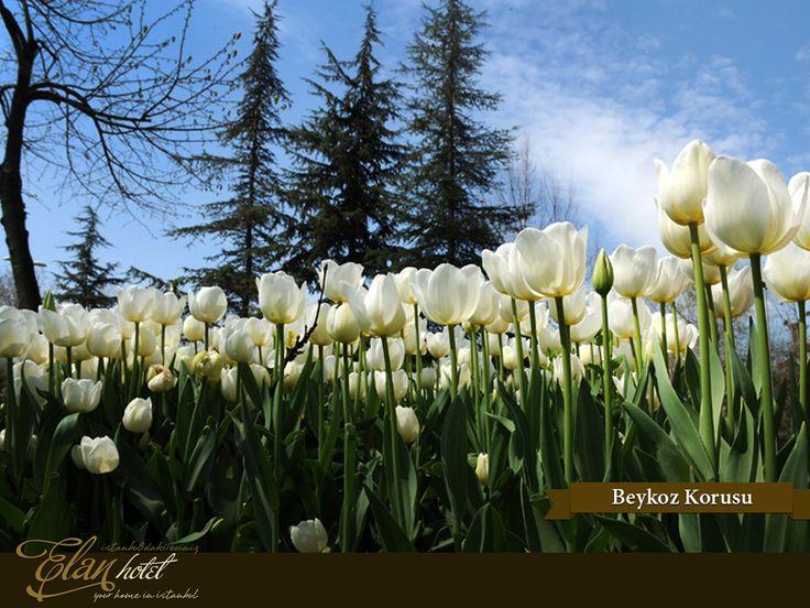 Lale festivali kapsamında Beykoz Korusu'na 16 farklı türde toplam 250.000 lale dikildi :)  #elanhotelistanbul #istanbul #tulip #lale #beykozkorusu