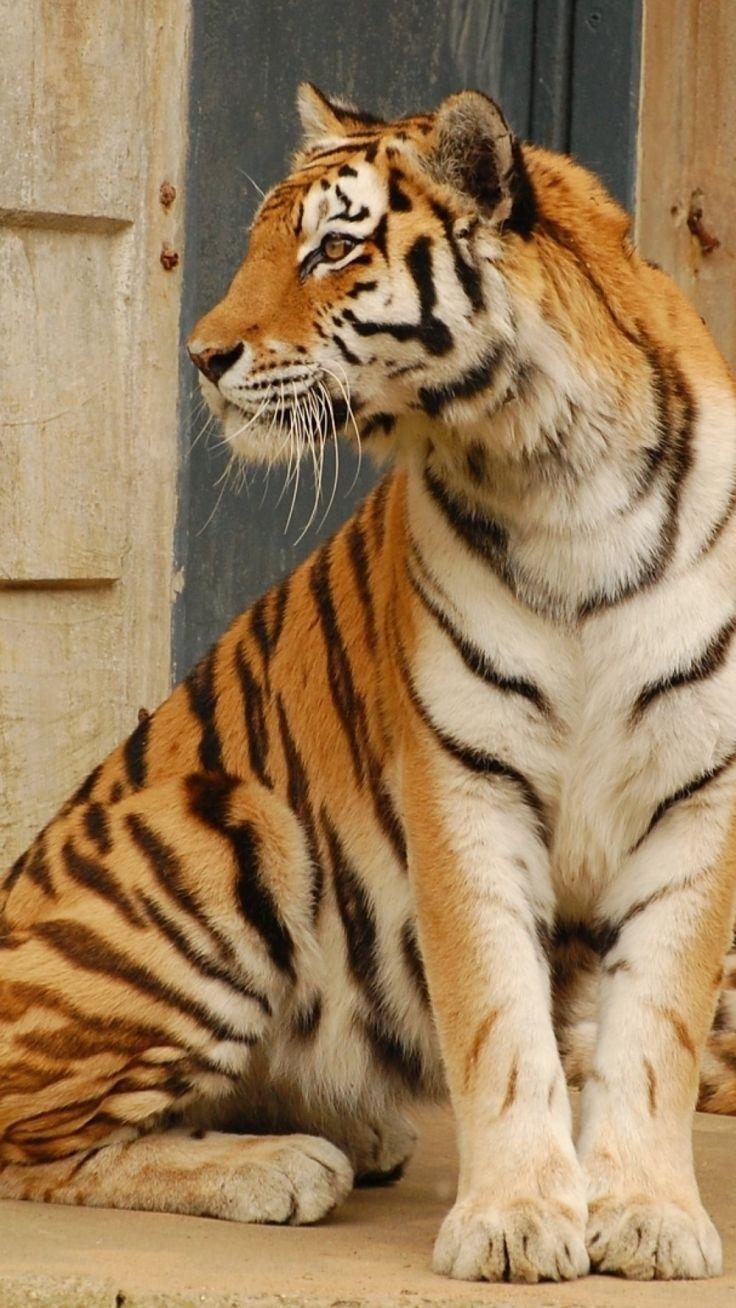 tiger, couple, down, big cat
