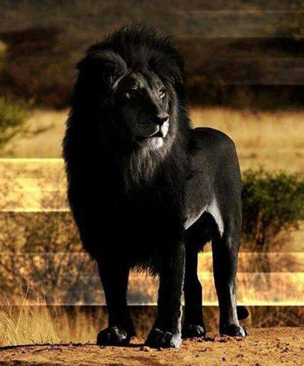Black lion???