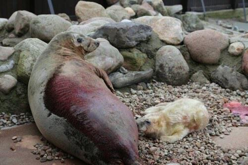 27 lutego 2017r. o godzinie 5.22 nad ranem najstarsza z samic w helskim stadzie fok szarych, 23-letnia Unda Marina, doczekała się szczęśliwego rozwiązania. Na świat przyszło jej szesnaste potomstwo.