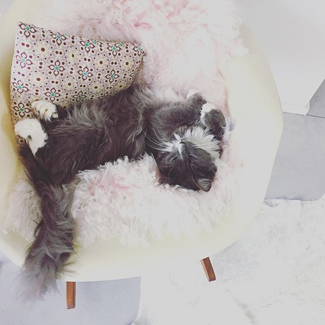Et puis le soir tu rentres chez toi et le comité d'accueil est plutôt ... endormi ☺️ #olgalableue #chat #cat #mainecoon #polydactyle #polydactylcat #gangdesgossespatounes #gangduplumeau #leschatscesbranleurs #RAR #catlover