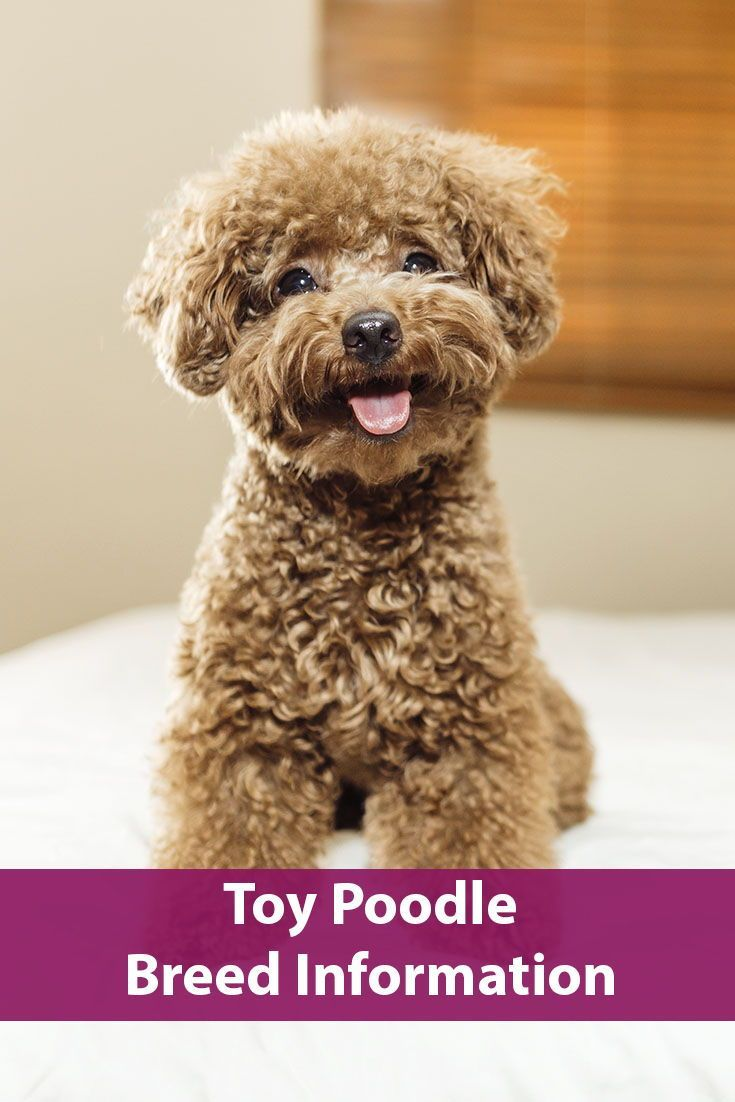 Toy Poodle Breed Information Dog Breeds Poodle Yorkshire Terrier