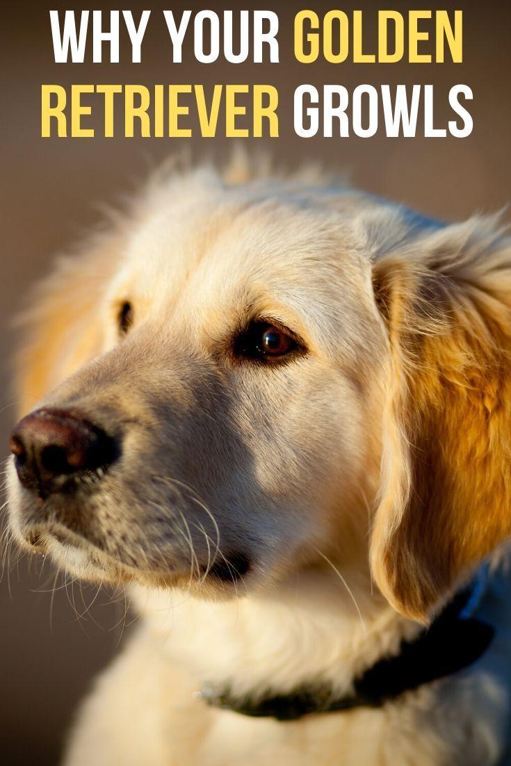 Why Does My Golden Retriever Growl Dog Growling Retriever Puppy