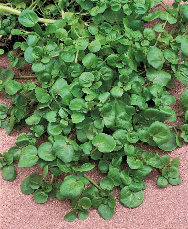 KÄLLFRÄNE i gruppen Krydd- och Medicinalväxter / Kryddväxt hos Impecta Fröhandel (3110)