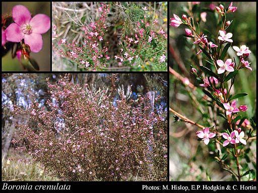 Photo of Boronia crenulata Sm. - shade plant