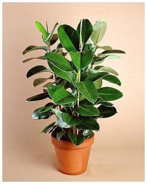 """1 сансевиерия ( """"Laurentii"""" Sansevieria Trifasciata) или, как называют ее в народе, тещин язык. Это комнатное растение является одним из наиболее эффективных для очистки воздуха. Оно способно фильтров..."""
