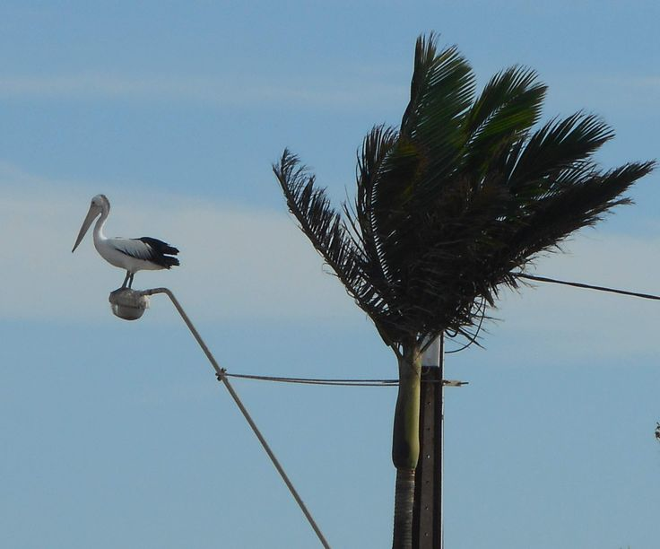 The wind was high but that didn't bother this pelican at Edithburgh, South Australia, a few weeks ago!