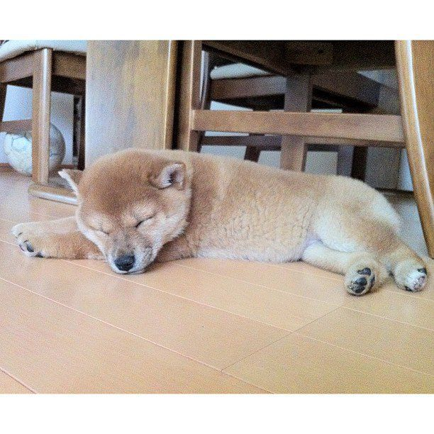 Cool Apartment Pets 210 Best Shibas Images On Pinterest  Shiba Inu Animals And Akita