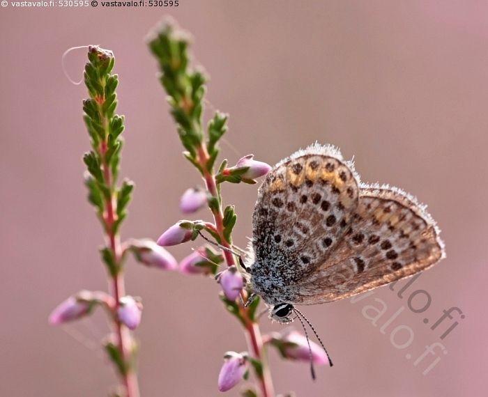 Kulunut sinisiipi - kulunut sinisiipi perhonen päiväperhonen Plebeius kanerva…