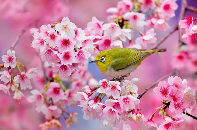 PINK CHERRY BLOSSOMS, YELLOW BIRD