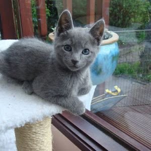 Awesome 15 Russian Blue Cat Pics Kitten Images And Kitty Wallpaper