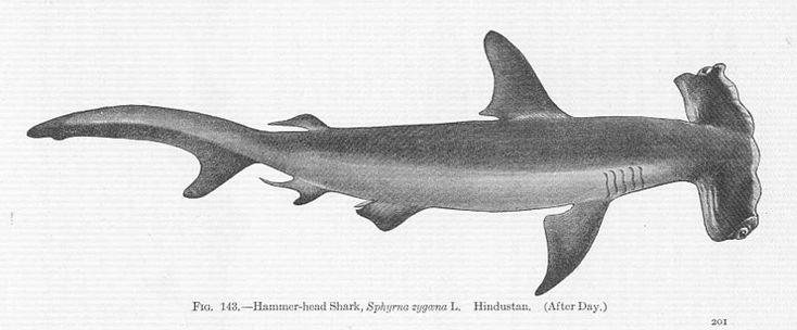 Hammerhead Shark Illustration