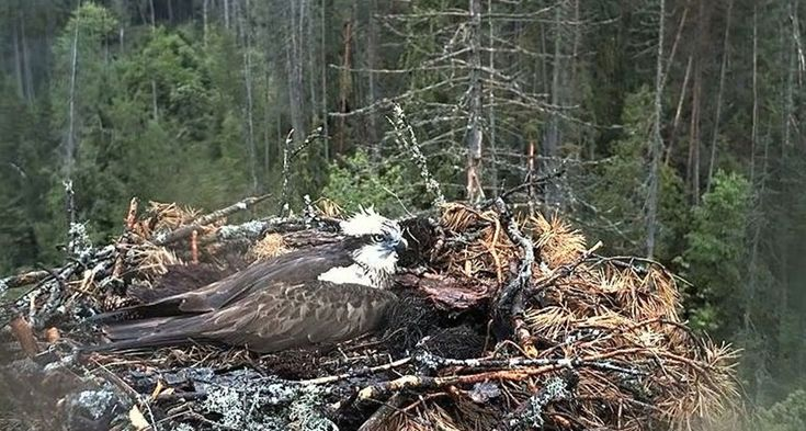 A live web feed of an osprey nest like this one spawned outrage last year when the bird families began to fail. People often judge these animals based on human standards of behavior.   ~~ betta design/Flickr (CC BY-NC 2.0)