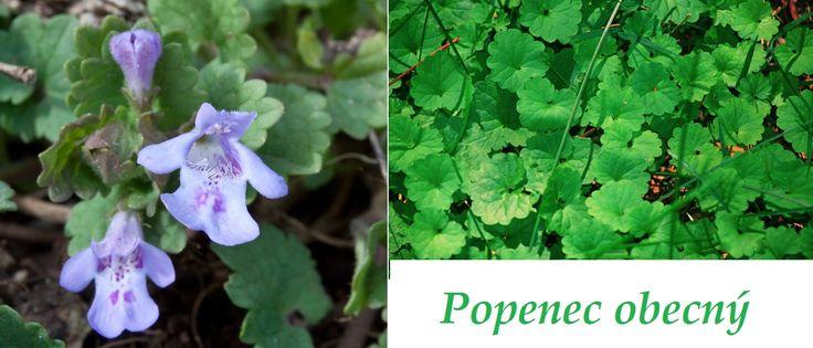 http://www.bylinkyprovsechny.cz/byliny-kere-stromy/byliny/154-popenec-ucinky-na-zdravi-co-leci-pouziti-uzivani-vyuziti