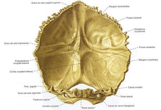 Occipital - Vista Interna
