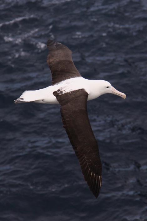 Northern royal albatross. Dorsal view of adult in flight. Forty-Fours,  Chatham Islands, December 2009. Image © Mark Fraser by Mark Fraser