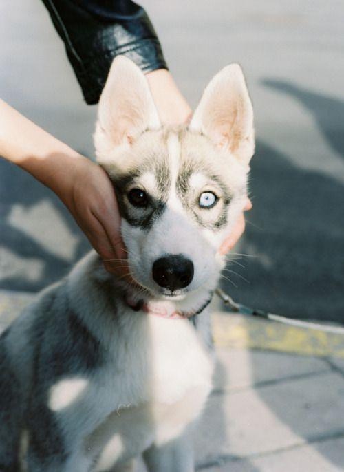 Eye: Siberian Husky, Eye Colors, Blue Eye, Wild Spirit, Difference Colors Eye, David Bowie, Husky Puppies, Beautiful Eye, Pete Wentz