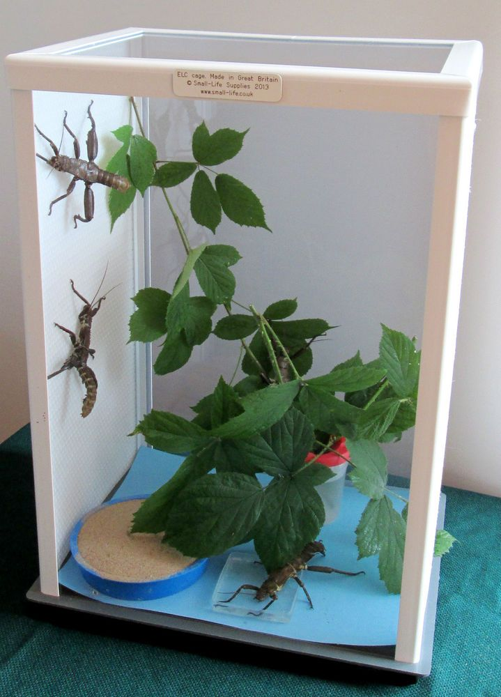 ELC stick insect cage - 20 inches or 51cm TALL, the best cage for stick insects
