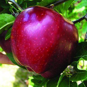 Early Red One: Su piel es brillante y de color rojo intenso, sin estrías, en todo el fruto, por lo que es una variedad muy atractiva. Su carne es tierna y consistente; aunque poco aromática, tiene un dulce sabor. Además de consumirse en fresco, es muy utilizada para cocinar, asada o en compota (Frutas y hortalizas, 2000).
