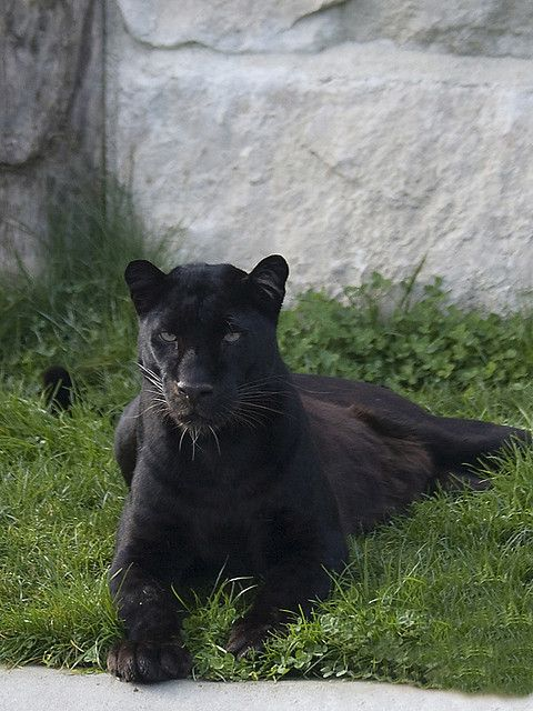 Black Panther by Fisherman01, via Flickr