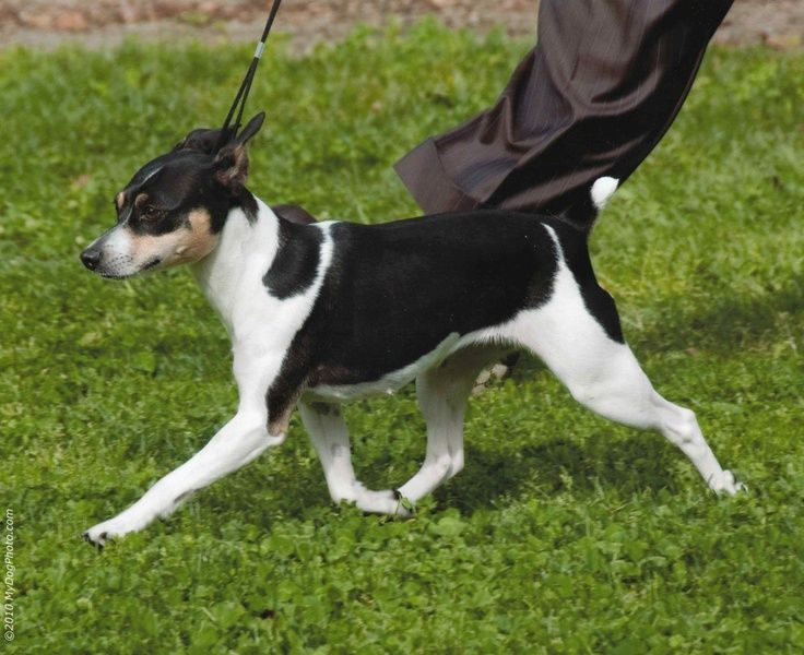 american rat terrier 1000 images about dogs r friends on pinterest jack 915