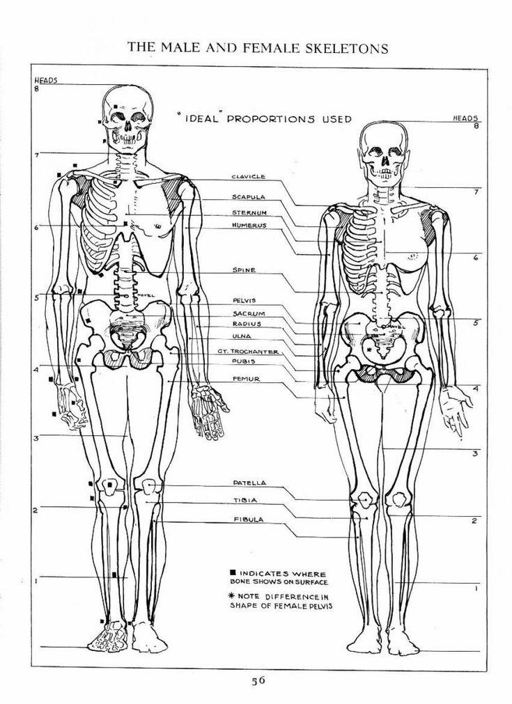 172 best Character Anatomy | Bones images on Pinterest | Human ...