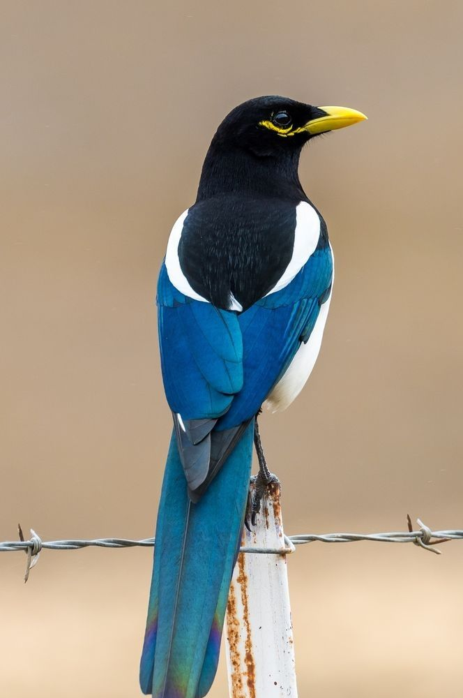 Yellow-billed Magpie, found only in California