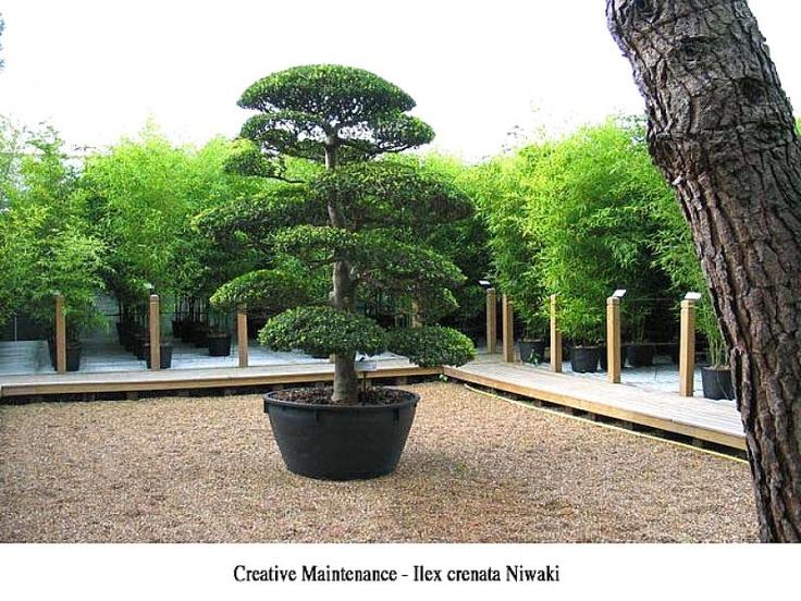 Creative Maintenance - Ilex crenata Niwaki
