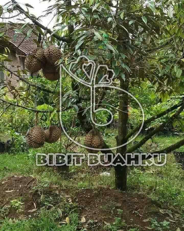 Kebun Durian Jatinegara Tegal