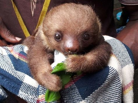 cute baby sloth eating lunch