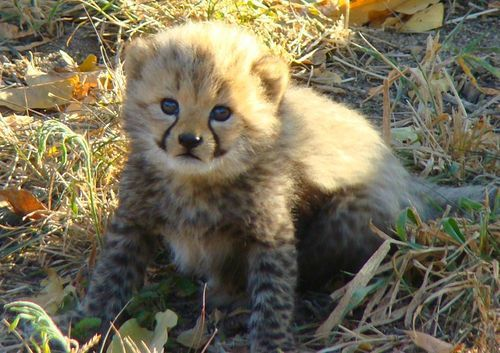 Watch these Cheetah cubs grow and play, every day at Hoedspruit Endangered Species Centre.
