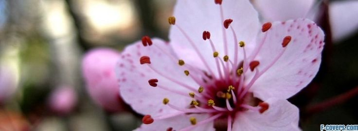 fiori fiori di ciliegio coprire il 15 facebook