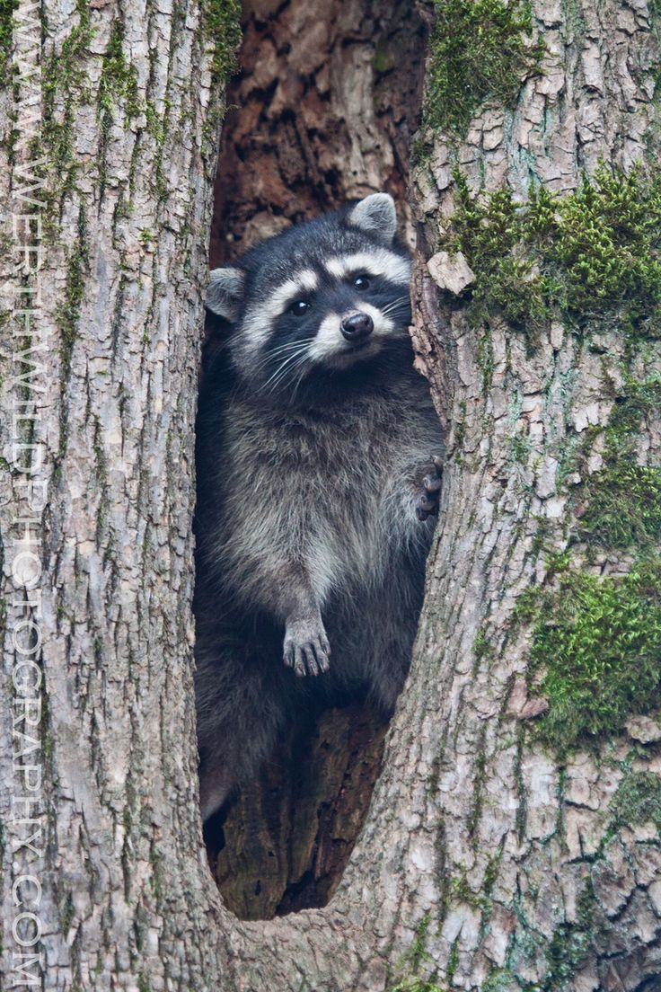 227 best raccoons images on pinterest animals wild animals and