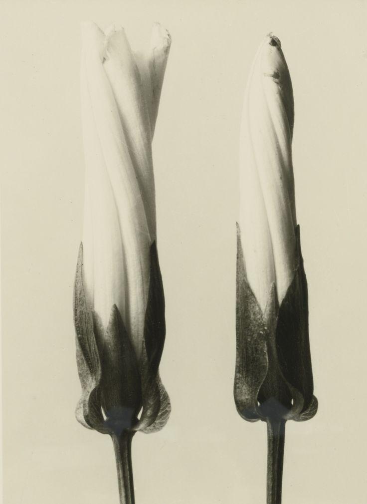 Convolvulus sepium, 1928, Karl Blossfeldt. Germany (1865 - 1932)