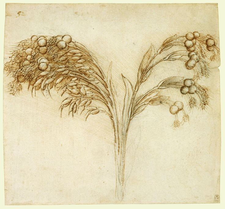 The Royal Collection: Job's tears (Coix lachryma-jobi) 1510 Leonardo da Vinci (Vinci 1452-Amboise 1519)    #TuscanyAgriturismoGiratola
